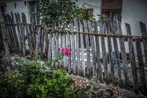 gammal landsbygdsgård med ett staket och rosa rosor foto