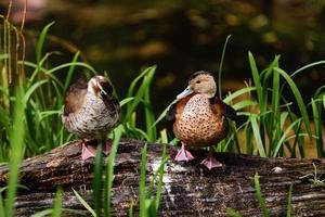 gräsand i dammen, gräsand hanar har grönt huvud och honor med bruna fjädrar. vacker vildand står på en träyta foto