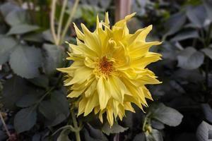 närbild av en vacker gul dahliablomma blommar i trädgården. foto