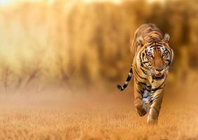 tiger, promenader i gyllene ljuset är en vildjakt sommar i varma, torra områden och vackra tigerstrukturer foto