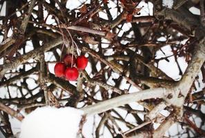 röda bär som hänger på lövlös häck på vintern foto
