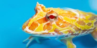 närbild argentinsk hornad groda med suddighetsbakgrund foto