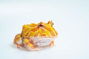närbild argentinsk hornad groda på vit bakgrund foto