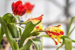 gul-röd tulpan i en vas i trädgården foto
