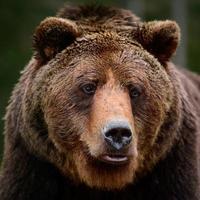 bruna björnar i naturen, ett stort däggdjur efter viloläge, ett rovdjur i den vilda skogen och vilda djur. foto