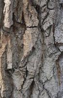 närbild av texturbakgrund av en gammal ekbark foto