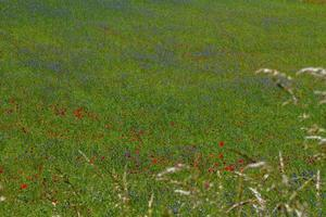 castelluccio di norcia och dess blommande natur foto