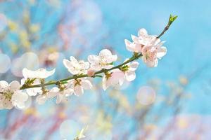 vita blommor i blom - abstrakt vårbakgrund foto