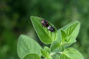 två brokiga skalbaggar på ett mynta blad foto