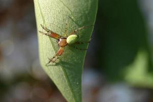 brokig spindel på ett grönt blad foto