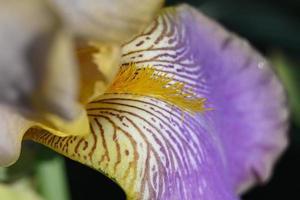 iris brokigt kronblad foto