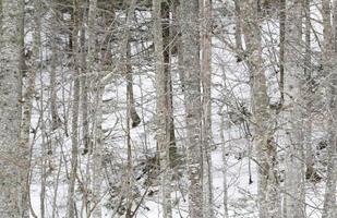 träd och snö foto