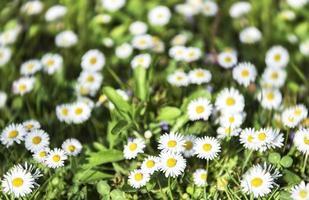vit sommarblomma av prästkragar foto