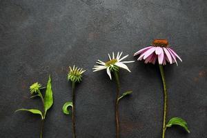 olika tillväxtstadier av echinacea-blomman foto