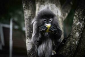 colobinae också grå langur äter frukt långstjärtad apa på trädet foto