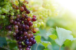vingård med mogna druvor på landsbygden, lila druvor hänger på vinstocken foto