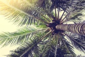 kokosnöt palmträd foto