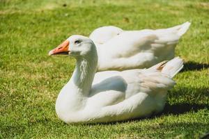 vit gås fågel foto