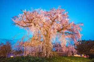 gråtande körsbärsträd på maruyama parkerar i kyoto, japan foto