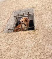 nyfiken hund tittar ut genom fönstret foto