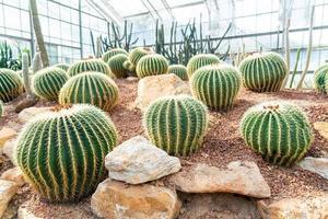 vacker kaktus i trädgården på drottningen sirikit botaniska trädgård Chiang Mai, Thailand foto