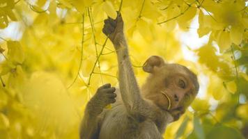 porträtt behandla som ett barn makak på en cassia-fistelträdfilial i Thailand, Sydostasien. gula blommor av våren, lycka bakgrund koncept. foto