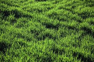 fält av färskt grönt gräs foto
