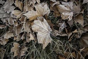 frysta löv på vintern foto