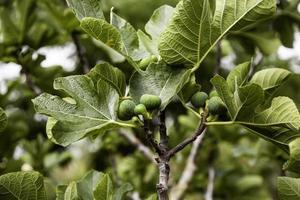 fikon på ett fikonträd foto
