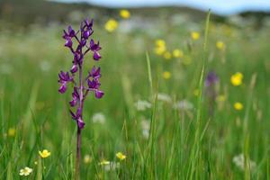jersey orkidé Storbritannien makro våren marsh vildblommor foto