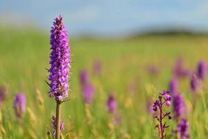 södra marsh orkidétröja Storbritannien makrobild av vårmyrsvildblommor foto