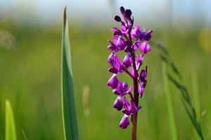 jersey orkidé uk vårmossa vildblomma foto