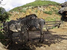 vilda zebror i fångenskap foto