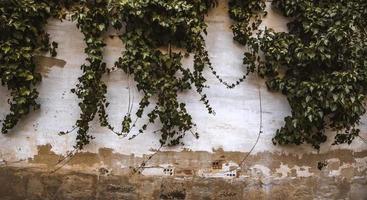 grön murgröna på en vägg foto