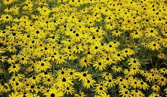 gula blommor i naturen foto