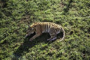 vild tiger i djungeln foto