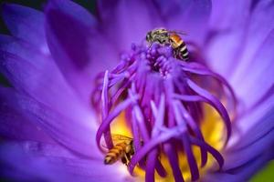 bin tar nektar från den vackra lila näckros- eller lotusblomman. makro bild av bi och blomman. foto