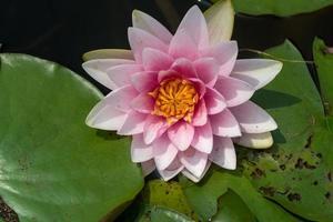vacker näckros eller lotusblomma i dammen. foto