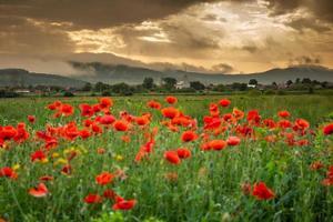 fält med vallmo i cristur, sieu, bistrita, rumänien, 2020 foto