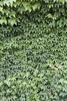 vägg av grön murgröna foto