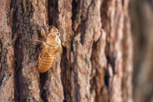 slough of cicada insect molt on pine tree at thung salaeng luang national park foto