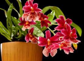 röd orkidé på svart foto