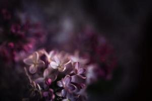 närbild av lila blommor på våren foto