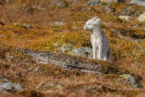 fjällräven i norge foto