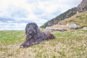 bergamasco herdehund ser betande sittande på en äng foto