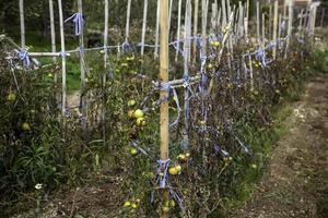 ekologisk tomatplantage foto