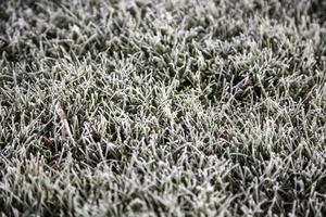 naturligt isgräs foto
