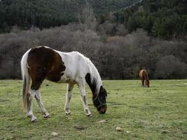 vild häst fält foto
