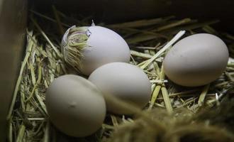 kyckling kläckar från ägg foto