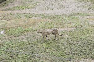 leopard i djurparken foto